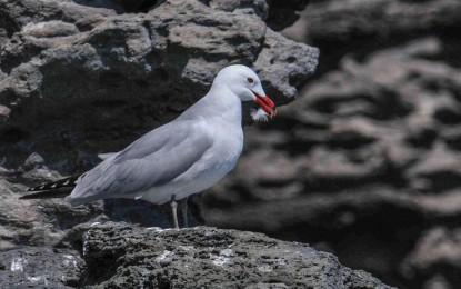 Inizia dai gabbiani corsi il monitoraggio dell'avifauna marina in Campania