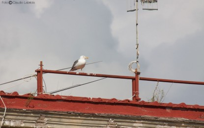 Suggerimenti e raccomandazioni per prevenire la nidificazione del Gabbiano reale sui tetti e le terrazze