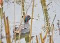 Breve analisi dei censimenti degli uccelli acquatici svernanti in Campania effettuati nel gennaio 2020